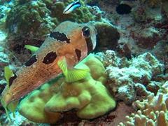 Blotched porcupinefish; Meemu Atoll