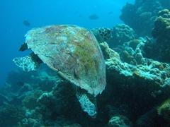 "Hawksbill turtle; ""Happy Corner"", Meemu Atoll"