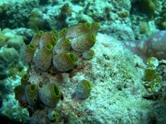 Soft coral; Meemu Atoll
