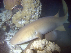 Our night dive with the tawny nurse sharks of Alimatha was a lot of fun, despite the crazy strong current