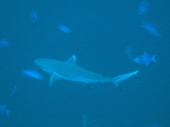 Grey reef shark; Felidhe Atoll