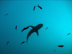 Silhouette of a grey reef shark surrounded by red-toothed trigger fish; Felidhe Atoll