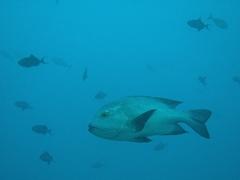 Snapper; Felidhe Atoll