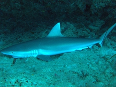 "Resting grey reef shark seen in a cave on an exploratory dive (hence named ""sleeping beauty""); Felidhe Atoll"