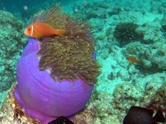 Maldive anemonefish; Felidhe Atoll