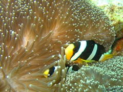 Clark's anemonefish hiding in a giant sea anemone; Felidhe Atoll