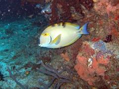 Yellowfin surgeonfish; Felidhe Atoll