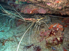 Lobsters under an overhang; Felidhe Atoll