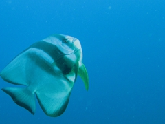 Longfin batfish; Felidhe Atoll