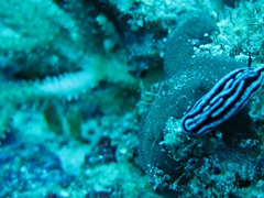 Nudibranch; Felidhe Atoll
