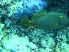 Triggerfish; Felidhe Atoll