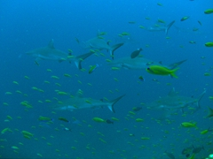 "School of grey reef sharks;  ""Kandoomaa Thila"" dive site near Guraidhoo Island; South Male Atoll"