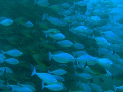 "School of surgeonfish; ""Kandoomaa Thila"" dive site; South Male Atoll"