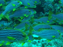Oriental sweetlips; South Male Atoll