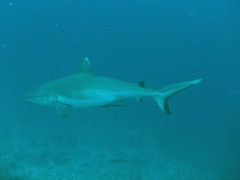 Grey reef shark; South Male Atoll