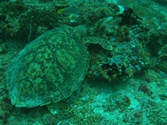 Foraging turtle; South Male Atoll