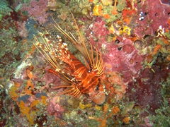 Lionfish trying to blend in with the coral; South Male Atoll