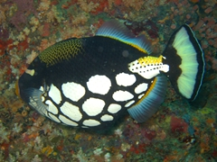 Clown triggerfish; South Male Atoll