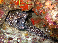 Laced moray eel with its mouth open wide; South Male Atoll