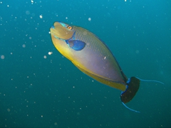 Big-nose Unicornfish; South Male Atoll