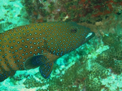 Peacock rockcod (bluespotted grouper); South Male Atoll