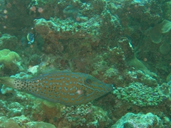 Scribbled filefish; North Male Atoll