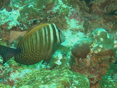 Sailfin tang; North Male Atoll