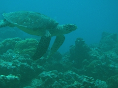 Hawksbill turtle; North Male Atoll