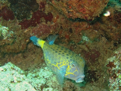 Yellow boxfish; North Male Atoll