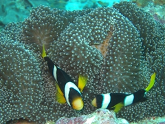 Clark's anemonefish; North Male Atoll