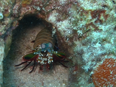 Mantis shrimp; North Male Atoll