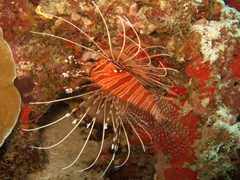 Spotfin lionfish; North Male Atoll