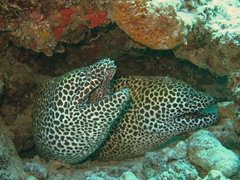 "Honeycomb morays (leopard morays) reach a gigantic size at the ""fish factory"" dive site near Furanafushi Island; North Male Atoll"