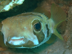 "Blotched porcupinefish; ""fish factory"" dive site in North Male Atoll"