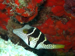 Saddled sharpnose puffer; North Male Atoll