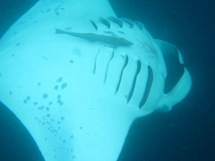 Underside of manta ray; South Male Atoll
