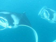 Playful mantas near Guraidhoo Island; South Male Atoll