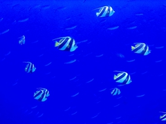 Pennant coralfish (longfin bannerfish) swimming in formation;  North Male Atoll