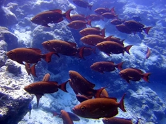A school of crescent tail bigeye fish; North Male Atoll