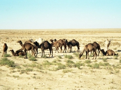 Our first glimpse of wild camels in the Syrian desert!