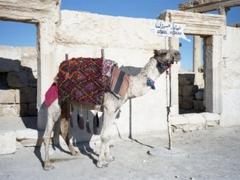 Enjoy a camel ride of the ruins, a quintessential experience of Palmyra