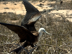 A frigatebird preparing to fly