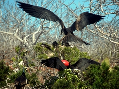 A male frigatebird attracts a potential mate who swoops in for a closer view