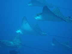 A fever of spotted eagle rays glides by; Wolf Island