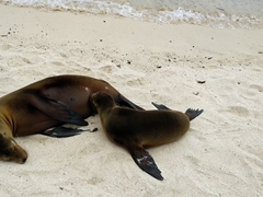 A juvenile sea lion sucks milk from its mom; Playa Mann