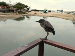 Yellow crowned night heron; Puerto Baquerizo Moreno