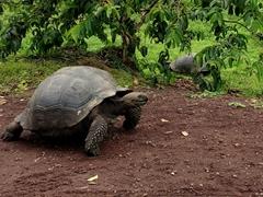 Galápagos giant tortoise; El Manzanillo Ranch
