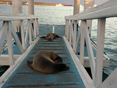 Sleeping sea lions blocking the path; Puerto Ayora