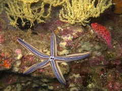 Blue starfish; Cousin's Rock