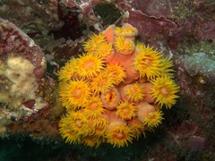 Yellow cup coral; Cousin's Rock